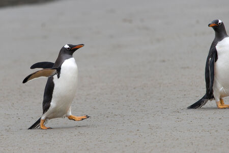 gentoo: Gentoo penguin walking, Saunders Island, Falkland