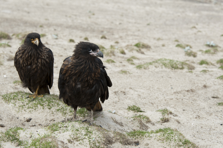 mated: Striated Caracara  Phalcoboenus australis , a mated pair on Carcass Island in the Falklands
