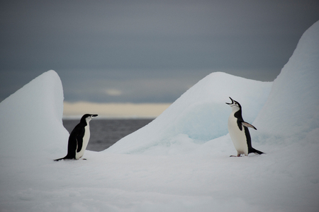 polar station: Chinstrap penguins on snow, Half Moon Bay, Antarctica