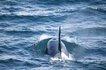 minke: Male orca whale sailing along the coast of the Antarctic Islands