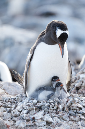 polar station: Gentoo penguin with chick nesting, Ronge Island, Antarctica  Stock Photo