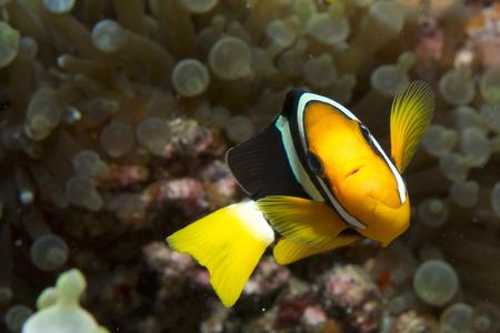 false percula clownfish: Anemone and anemone fish, Maldives
