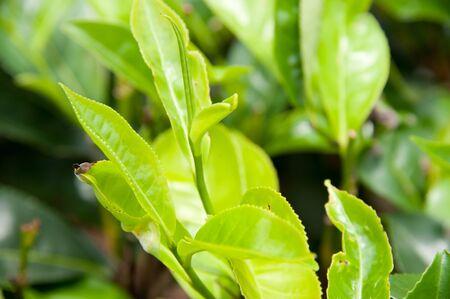 Sri Lanka, Tea leaves, Ceylon photo