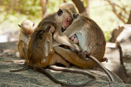 simian: Monkey family Sri Lanka