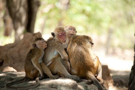 Monkey family Sri Lanka  photo