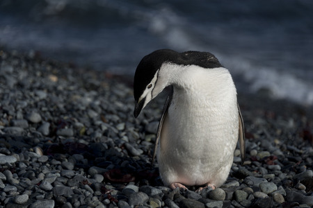 polar station: Chinstrap penguin on rocks, Half Moon Bay, Antarctica