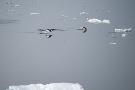 Gentoo penguins swimming and jumping in ocean, mirrored, Antarctica photo