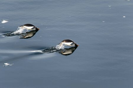 polar station: Gentoo penguins swimming and jumping in ocean, mirrored, Antarctica