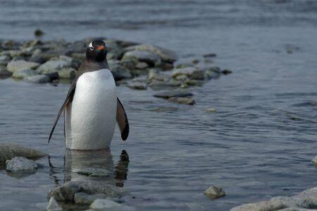 Gentoo penguin standing in water, Ronge Island, Antarctica