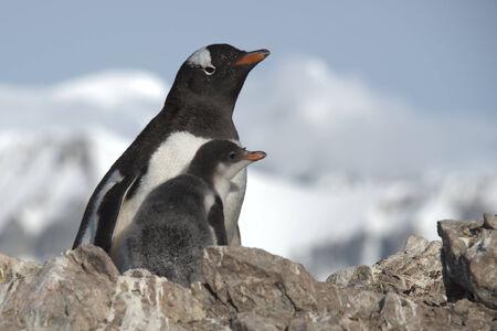 gentoo: Gentoo penguin with baby, Ronge Island, Antarctica