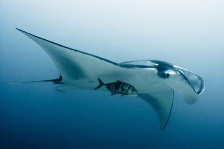 Manta ray, Maldives  photo