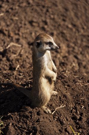 suricate: Suricate or Meerkat  Suricata suricatta , South Africa