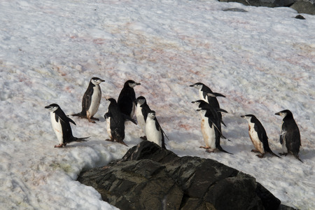 polar station: Chinstrap penguins on ice, Antarctica  Stock Photo