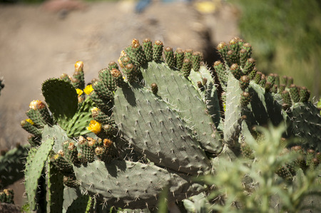 desert ecosystem: Cactuses with yellow flowers in the desert of Morocco