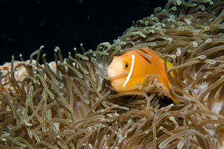 false percula: Anemone and anemone fish, Maldives