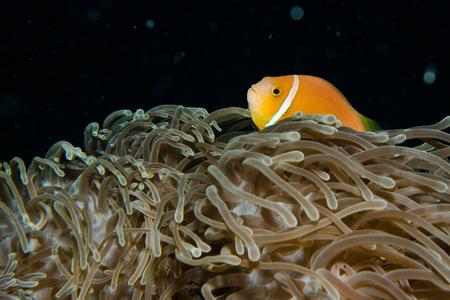 Anemone and anemone fish, Maldives  photo