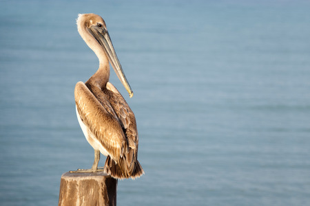 A pelican sits on a pylon post with the sunset on its back and the blue waters behind him  Cozumel, Mexico