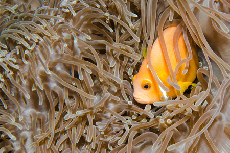 percula: Anemone and anemone fish, Maldives