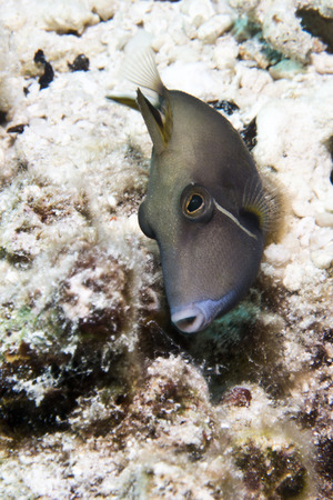 trigger fish: Half moon trigger fish, underwater, Maldives  Stock Photo