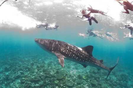 snorkling: Whale shark with snorkling people