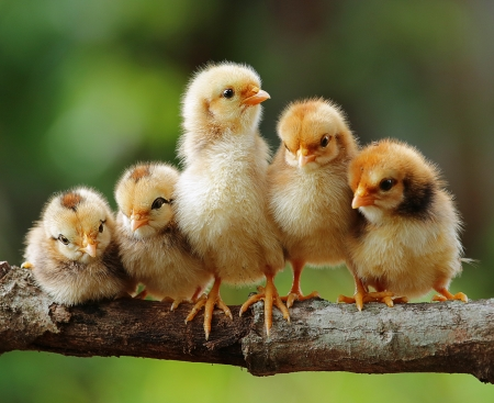 Groepsportret van Cute Chicks Stockfoto - 15252574
