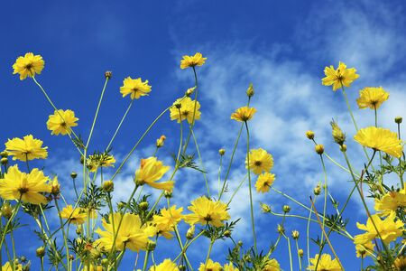 Cosmos on sunny day Stock Photo