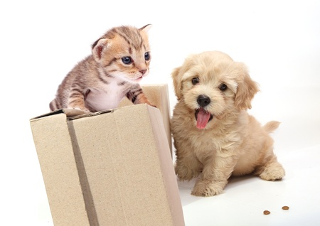 brown box: Kitten and Puppy Playing on white backgroud