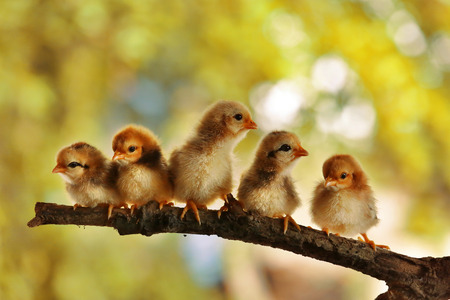Five of Babies chicks Stock Photo