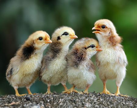 pollitos: Polluelos lindos