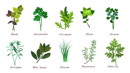 Cooking herbs illustration set. Basil, coriander, mint. Food concept. Can be used for topics like meal, plant, gourmet Stock Illustration - 120585582