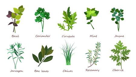 Ensemble d'illustrations d'herbes de cuisine. Basilic, coriandre, menthe. Notion de nourriture. Peut être utilisé pour des sujets comme les repas, les plantes, les gourmets Banque d'images