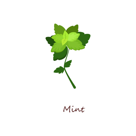 Fresh mint. Green sprig and leaves, peppermint, menthol. Cooking herbs concept. Vector illustration can be used for topics like organic food, herb tea, horticulture