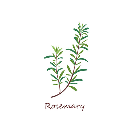 Rosemary sprig. Green twig with leaves. Cooking herbs concept. Vector illustration can be used for topics like condiment, seasoning, cuisine