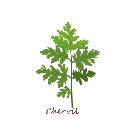 Sprig of chervil. Green sprig with leaves. Cooking herbs concept. Vector illustration can be used for topics like condiment, seasoning, salad, vegan diet Stock Vector - 121616982