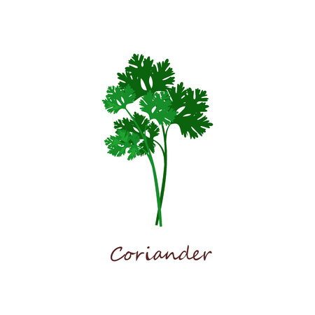 Sprig of coriander. Green leaves, parsley, plant. Cooking herbs concept. Vector illustration can be used for topics like food, seasoning, salad Çizim