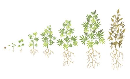 Hemp plant growth cycle flat vector collection. Cannabis or marijuana growing illustration set. Weed planting and ganja life development concept Banco de Imagens