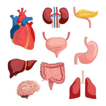 Internal organs set. Collection of body systems. Can be used for topics like human anatomy, education, health Standard-Bild