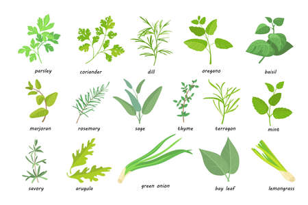 Creative green popular culinary herbs flat pictures set. Cartoon thyme, parsley, rosemary, sage, coriander, oregano, etc. isolated vector illustrations. Nutrition and spicy concept