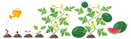 Process of watermelon plant growth. Cartoon vector illustration. Different stages of watermelon development, life cycle from seed and sprout to fruit. Germination, crop, nature, food, farm concept