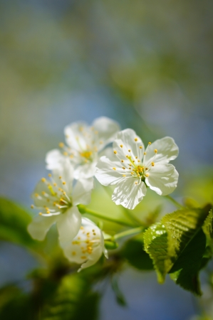 White cherry blossoms in the morning light Stock Photo - 20323054