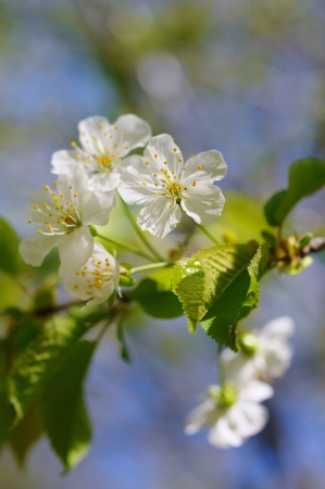 White cherry blossoms in the morning light Stock Photo - 20325281