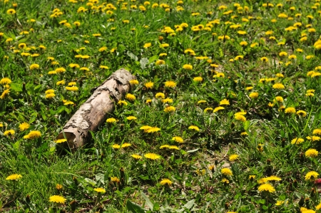 Field of dandelions with log in foreground