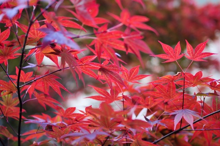 Japanese red maple leaves in the park Stock Photo - 20630001