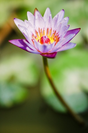 water lily Stock Photo - 21146401