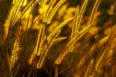 Wild grasses in evening light  Stock Photo