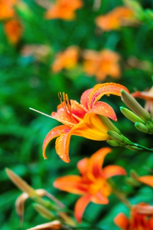 Orange tiger lilies blooming in the garden with drop of rain Stock Photo - 21777674