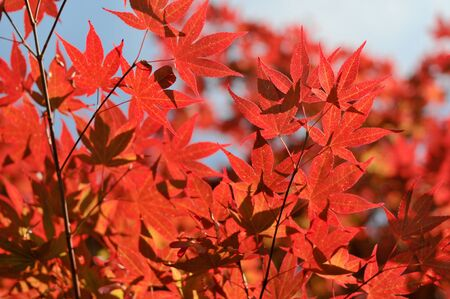 Japanese red maple leaves in the park