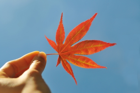 Hand holding a red maple leaf, clear blue sky background