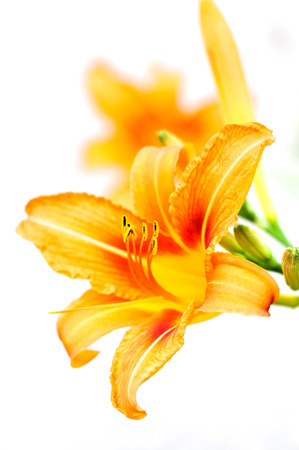 Orange tiger lilies blooming in the garden - isolated Stock Photo - 22543953