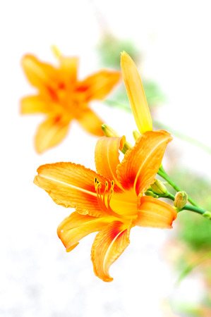 Orange tiger lilies blooming in the garden - isolated Stock Photo - 22543955